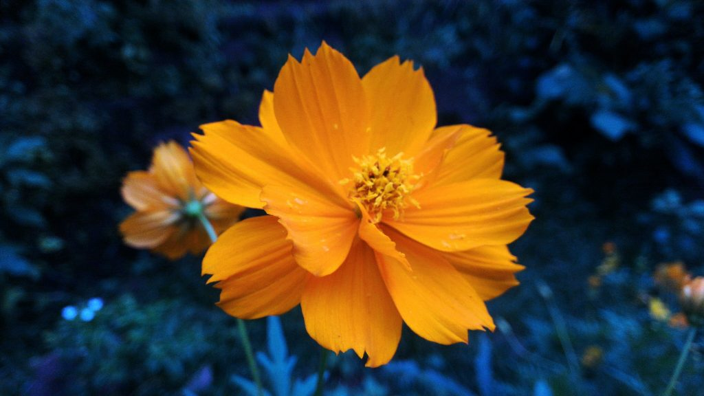 How to start marigolds from seeds