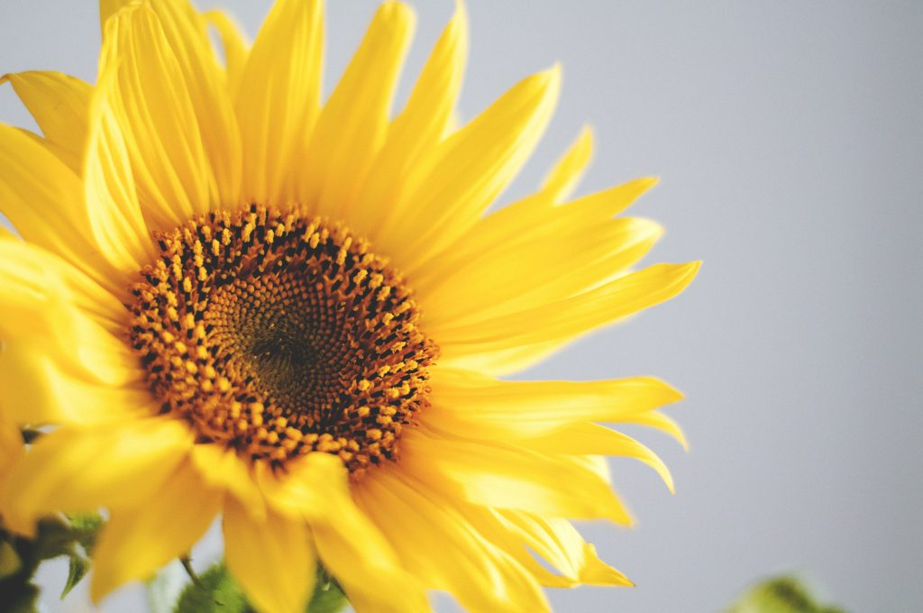 How to start sunflowers from seeds