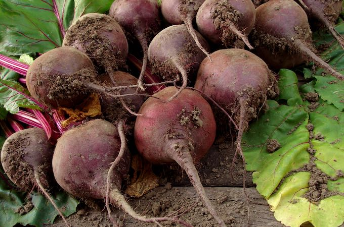 Beets are super easy to grow for even the most novice gardener