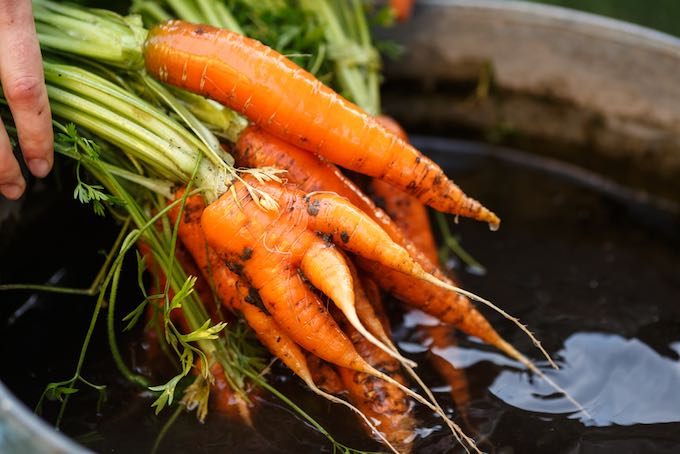 Harvesting carrots is a satisfying exercise for new gardeners
