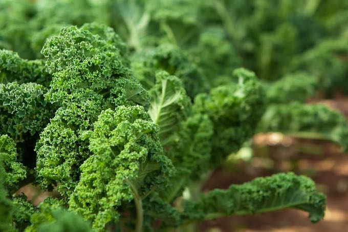 Kale in garden - a good vegetable for inexperienced gardeners