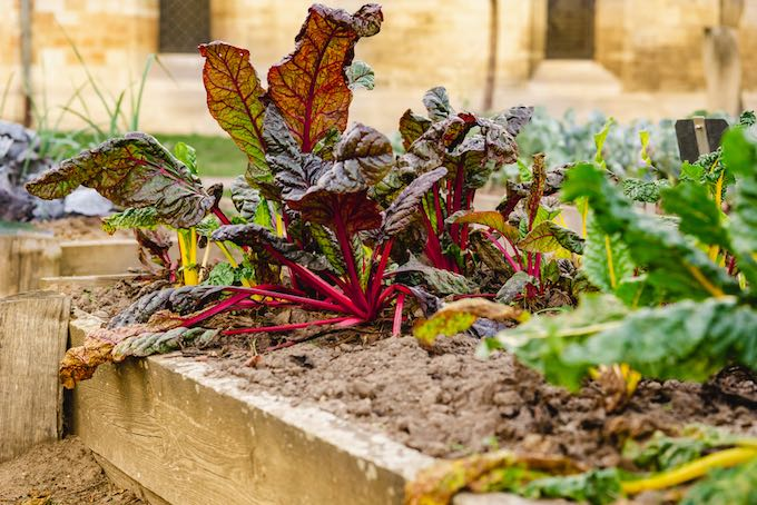Swiss Chard is beautiful, tasty, and easy to grow